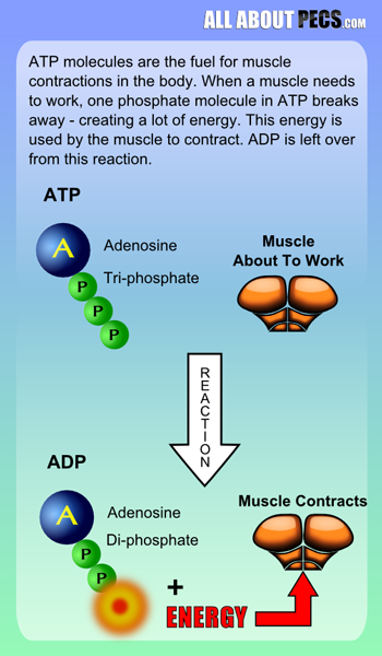ATP breaks a phosphate bond to create energy for muscles