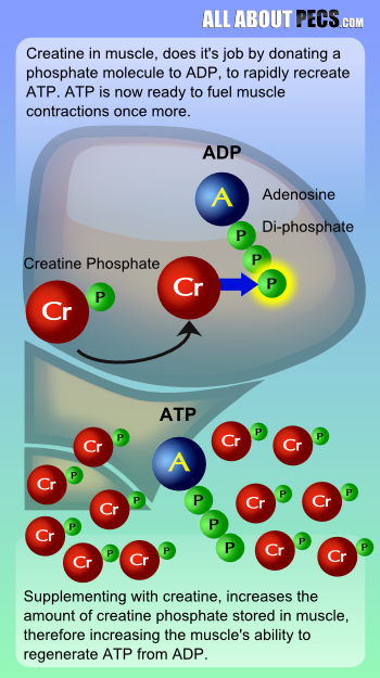 Creatine phosphate converts ADP to ATP - providing energy for muscle contractions